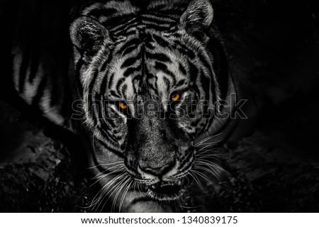 Tiger Eye black and white  #1340839175