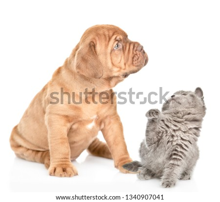 Mastiff puppy and playful baby kitten . isolated on white background #1340907041