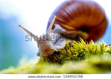 Helix pomatia also Roman snail, Burgundy snail, edible snail or escargot, is a species of large, edible, air-breathing land snail, a terrestrial pulmonate gastropod mollusk in the family Helicidae. #1340925788