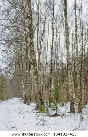 The end of winter. February month. Birch grove.Nature in the vicinity of Pruzhany, Brest region, Belarus.  #1341027413