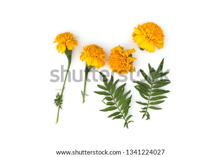 Marigold flowers so beautiful, yellow Marigold flower, Tagetes erecta, Mexican marigold, Aztec marigold, isolated on white background High resolution image gallery. #1341224027