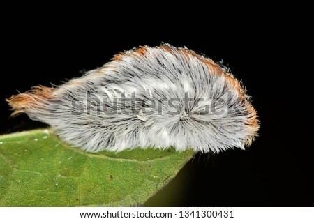 Gray-colored Flannel moth caterpillar (Megalopyge opercularis) on a leaf with a black background. Taken at night in Houston, TX. These caterpillars have venomous spines under their hair. #1341300431