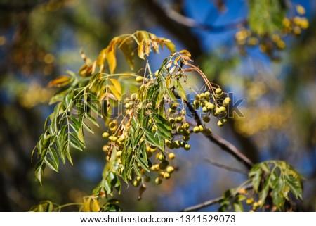 China Berry Branch #1341529073