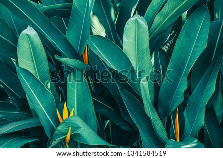 tropical leaf, lush foliage in rainforest, nature background, blue toned process Royalty-Free Stock Photo #1341584519