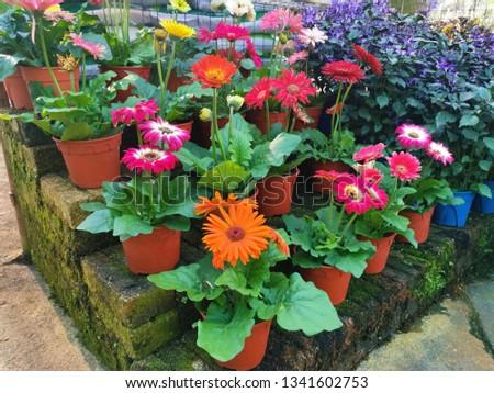 blooming gerbera flower  #1341602753