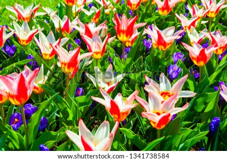 Blooming red tulip flowers and violet crocuses. Macro image, shallow depth of field. Beautiful spring nature #1341738584