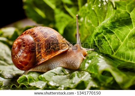 Snail Muller gliding on the wet leaves. Large white mollusk snails with brown striped shell, crawling on vegetables. Helix pomatia, Burgundy, Roman, escargot. Caviar. Kisses of snails in strawberries. #1341770150