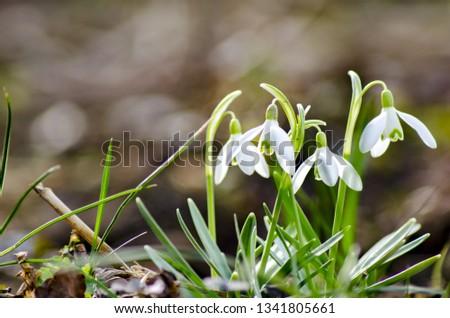 spring, snowdrop flowers #1341805661