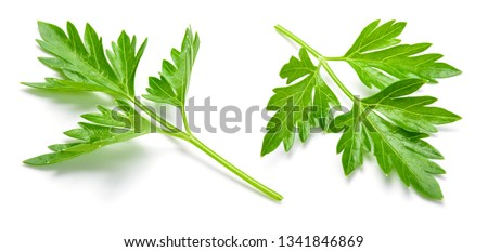 Parsley. Parsley isolated. Full depth of field. #1341846869