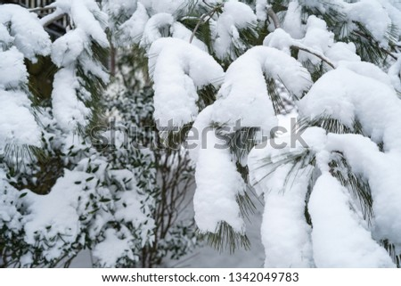 Snow covered pine needles / Winter background, selective focus #1342049783