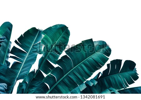 tropical banana leaf, dark blue palm foliage isolated on white, nature background, clipping path included, toned process #1342081691