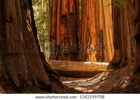 Hiker in Sequoia national park in California, USA #1342199708