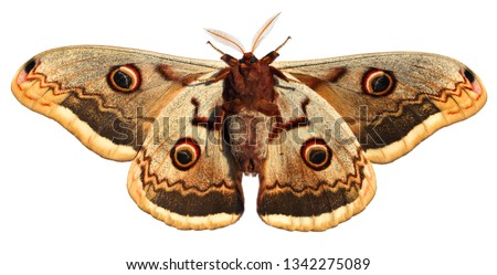 Moth, Saturnia pyri, the Giant Peacock moth, Great Peacock moth, Giant Emperor moth or Viennese emperor (Lepidoptera: Saturniidae). Isolated on a white background  #1342275089