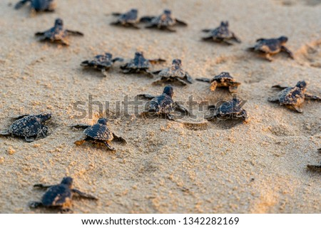 Endangered young baby turtles in warm evening sunlight being released at a beach in Sri Lanka, fighting their way towards the ocean. The recently hatched turtles are prone to be attacked by predators. #1342282169