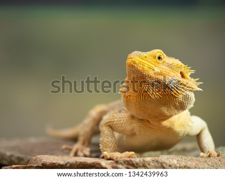 Pogona Female or more commonly known as bearded dragon #1342439963