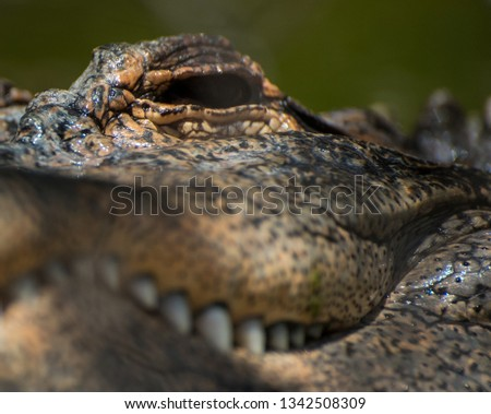 extreme close up of a crocodile face, eye #1342508309