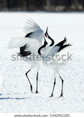 Dancing Cranes. The ritual marriage dance of cranes. The red-crowned crane. Scientific name: Grus japonensis, also called the Japanese crane or Manchurian crane, is a large East Asian Crane. #1342961285