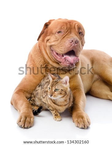Dogue de Bordeaux (French mastiff) and Bengal cat (Prionailurus bengalensis) lying together. isolated on white background #134302160