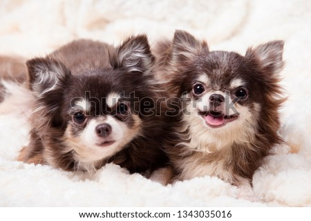 funny chihuahua dog,two chihuahua dogs lying on a blanket,cute dog chihuahua. Animal portrait. #1343035016