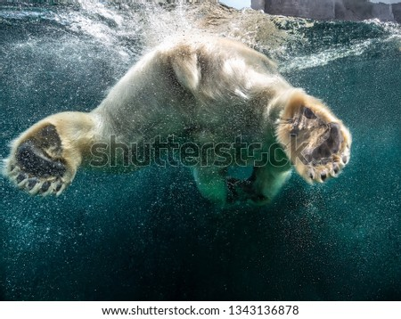 Action closeup of polar bear with big paws swimming undersea with bubbles under the water surface in a wildlife zoo aquarium - Concept of dangerous climate change, endangered wild animals #1343136878