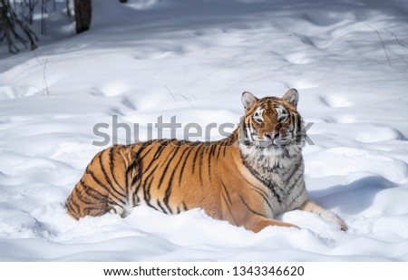Tiger posing in the snow #1343346620