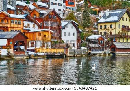 The couple of swans floats along the bank of Hallstatt, Salzkammergut, Austria. #1343437421
