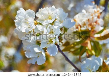 Flowering cherry trees, with white flowers in the province of Cáceres. #1343441342