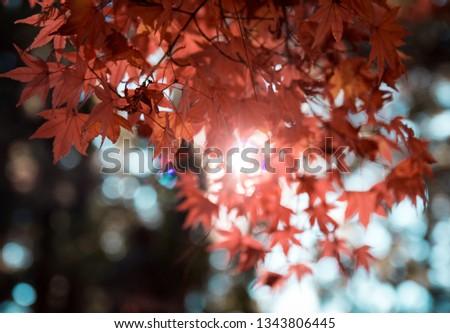 Autumn maple leaf #1343806445