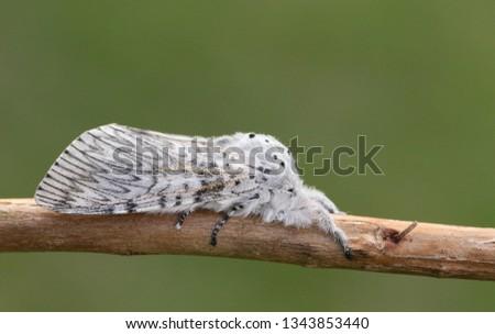 A beautiful Puss Moth, Cerura vinula, resting on a twig. #1343853440