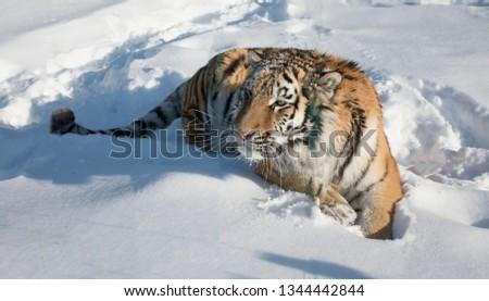 Close-up portrait of Siberian Tiger, Beautiful face portrait of Amur Tiger. #1344442844