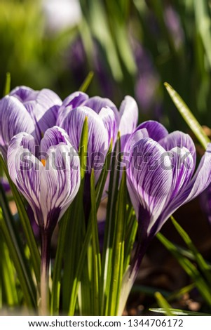 couple light purple crocus flowers with striped petals in the garden under the sun in the park. #1344706172