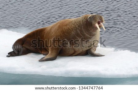 Walrus resting on a ice flow in the Arctic Ocean #1344747764