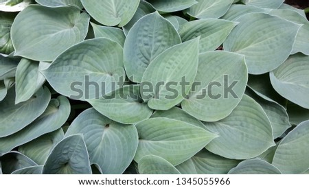 Top view hosta leaves #1345055966