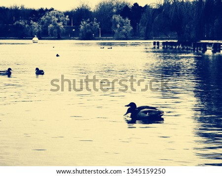 Black-and-white, yellow-filtered photo of ducklings on a park lake, two of them swimming in tandem in the left hand side of the picture.