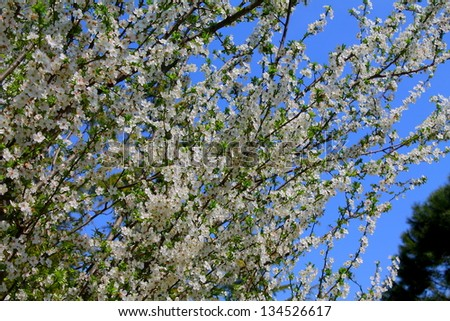 cherry blossoms #134526617