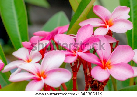 Plumeria Flower with beautiful blossom and pink colour. #1345305116