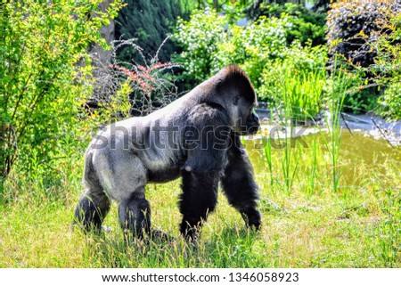 The western lowland gorilla (Gorilla gorilla gorilla) on the meadow #1346058923