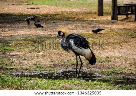 Beautiful bird ,Grey crowned crane #1346325005