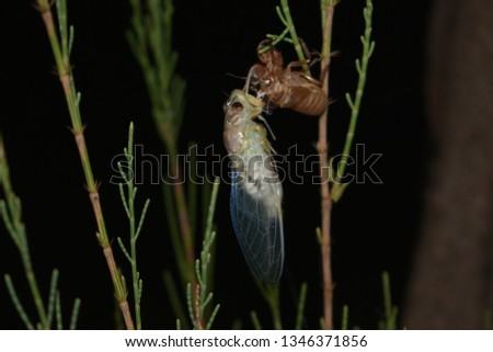 young cicada insect changing its skin at nighttime #1346371856