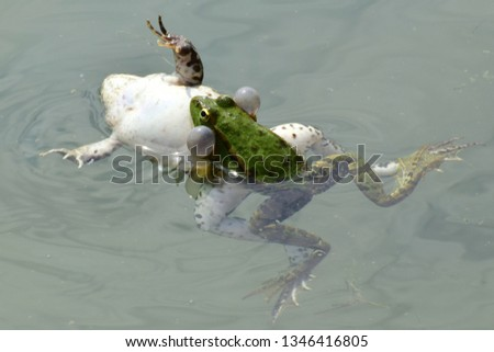 Close-up of a male and a female of the green frog, Rana ridibunda, swim together during spring breeding on the water in the foothill lake of the North Caucasus                                #1346416805