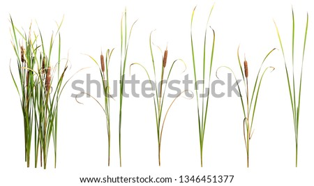 Cattail and reed plant isolated on white background  #1346451377