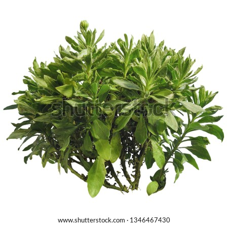 Bush isolated on white background. Green foliage in summer. Wild plant  #1346467430