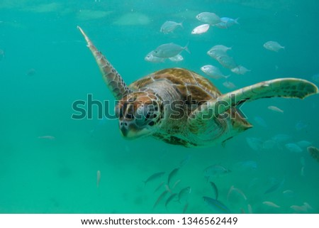 turtle swims in the clear ocean near the island of Mauritius #1346562449