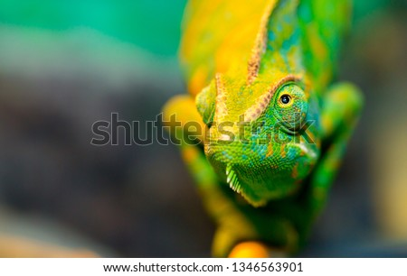Chameleon close up. Multicolor Beautiful Chameleon closeup reptile with colorful bright skin. The concept of disguise and bright skins. Exotic Tropical Pet #1346563901