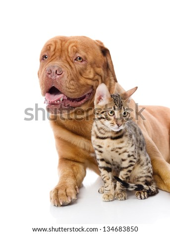 Dogue de Bordeaux (French mastiff) and leopard cat (Prionailurus bengalensis). looking away. isolated on white background #134683850