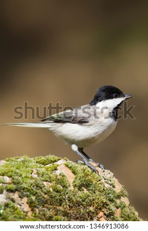 Cute little bird. Dark nature background. Bird: Sombre Tit. Poecile lugubris. #1346913086