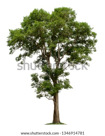 Big tree isolated on white background with clipping paths for garden design.Tropical species found in Asia. #1346914781