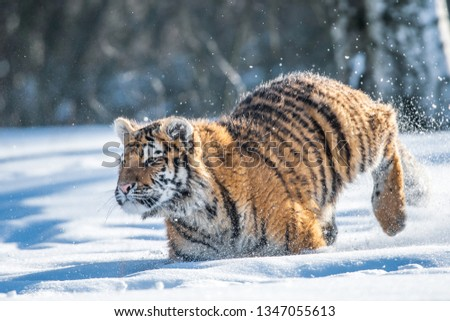 Siberian Tiger running in snow. Beautiful, dynamic and powerful photo of this majestic animal. Set in environment typical for this amazing animal. Birches and meadows #1347055613