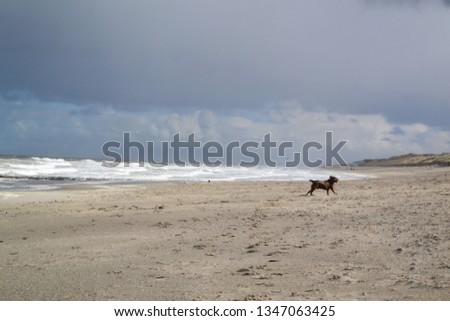 Brown Labrador dog walking and playing at beach sand sea dunes #1347063425