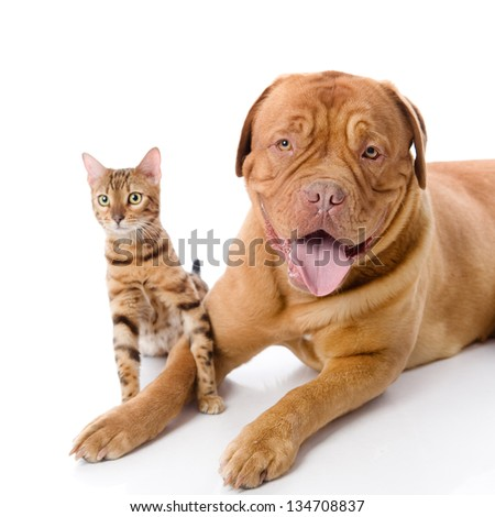 Dogue de Bordeaux (French mastiff) and Bengal cat (Prionailurus bengalensis) together. isolated on white background #134708837